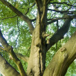 Ancient Beech Tree - Stock Photo
