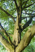 Ancient Beech Tree — Stock Photo