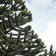 Araucaria — Stock Photo #3513270