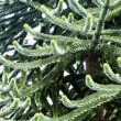 Araucaria — Stock Photo