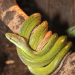 Snake — Stock Photo #3898870