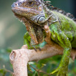Royalty-Free Stock Photo: Portrait of an iguana