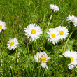 Daisies in the grass — Stock Photo #3106485