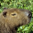 Capybara -  the largest living rodent — Stock Photo