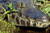 Spectacled caiman — Stock Photo