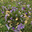 Meadow full of spring flowers- crocuses - Stock Photo