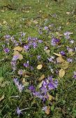 Pradera llena de flores de primavera-azafranes — Foto de Stock