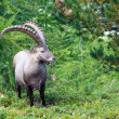 Alpine ibex in the swiss alps - Stock Photo