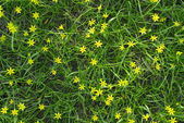 Little yellow flowers in the green grass — Stock Photo