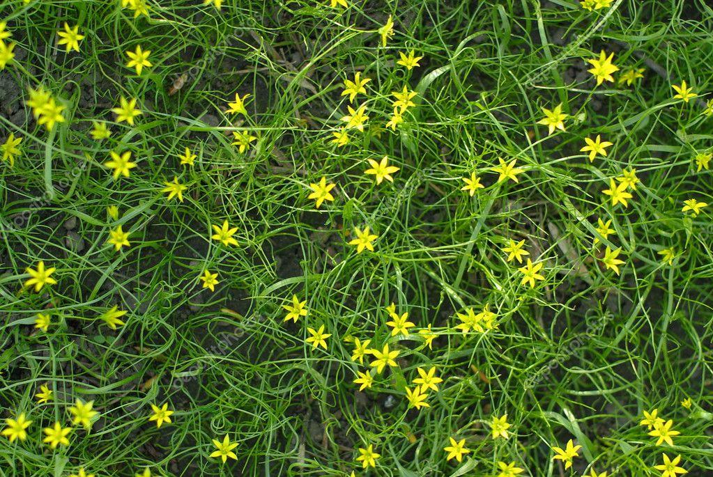 kleine gelbe blumen in das gr ne gras stockfoto 3061325. Black Bedroom Furniture Sets. Home Design Ideas
