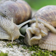 Edible snail in grass — Stock Photo