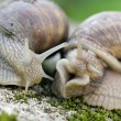 Edible snail in grass — Foto de Stock
