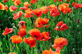 Poppies — Stock Photo