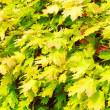 Foliage background — Stock Photo #3105411