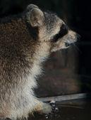 Raccoon keeps food — Stock Photo
