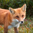Stock Photo: Red fox