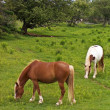 Stock Photo: Grazing horses