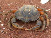 Crabby Crustacean — Stock Photo