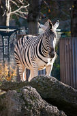 Zebra and Rocks — Stock Photo