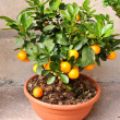Stock Photo: Potted Clementine Mandarin Tree