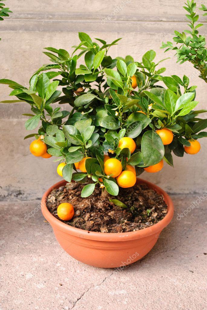 Все о цитрусовых растениях уход