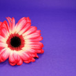 Stock Photo: Red Daisy on Purple