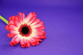 Red Daisy on Purple — Stock Photo