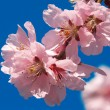 Cherry plum flowers — Stock Photo #2855013