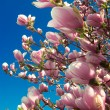 Blooming magnolia tree in april — Stock Photo #2855023