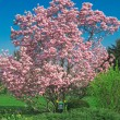 Blooming magnolitree in april — Stock Photo #2855047