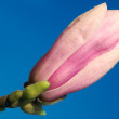 Magnolia bud against blue sky — Stock Photo