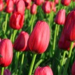 Tulip field — Stock Photo #2855146
