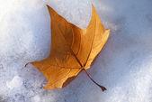 Kışın akçaağaç yaprağı — Stok fotoğraf