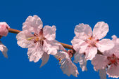 Cherry plum tree flower — Stock Photo