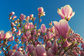 Blooming magnolia tree in april — Stock Photo