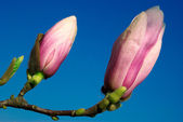 Magnolia twig against blue sky — Stock Photo