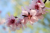 Blooming cherry plum tree twig — Stock Photo
