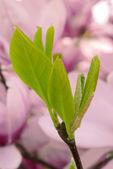 Folhas de magnólia — Foto Stock