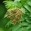 Stock Photo: Young mountain ash