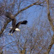 Stock Photo: Bald Eagle in flight thru trees
