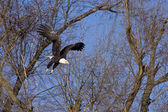 Bald Eagle in flight thru trees — Stock Photo