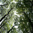 Ashridge trees overhead — Stock Photo