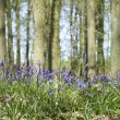 Bluebell woods — Stock Photo