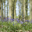 Bluebell woods - Foto Stock