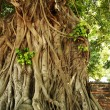 Stock Photo: bodhi tree