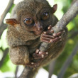 bohol tarsier — Stock Photo
