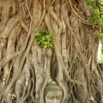 Buddhas head banyan tree — Stock Photo #2815064