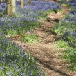 Bluebell woods ashridge — Stock Photo