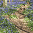 Stock Photo: Bluebell woods ashridge