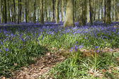 Spring bluebell woods — Stock Photo